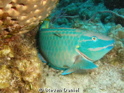 Queen Parrotfish at cleaning station by Steven Daniel